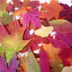 Autumn Leaves, 100 Real Pre..