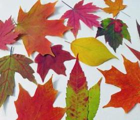 Autumn Leaves, Qty 50, Fall Leaves, Table Decorations, Autumn Wedding Decor, Real Leaves
